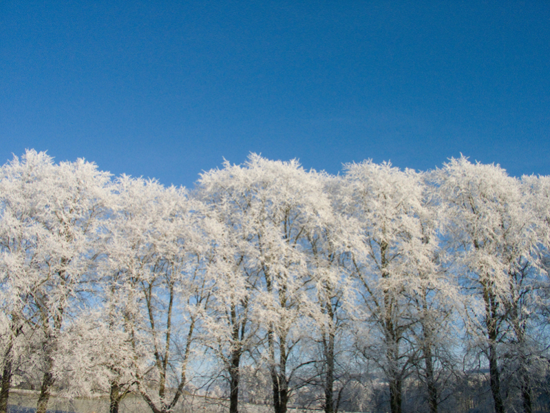 frosted-trees